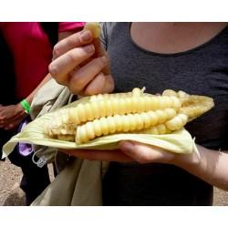 Sementes Milho Gigante de Cuzco