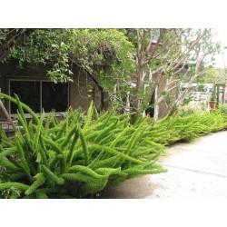 Sprenger's Asparagus Seeds