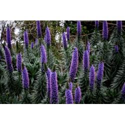 Toranj Dragulja Blue Steeple Seme
