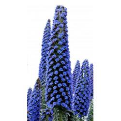 Sementes de Blue Steeple Tower of Jewels