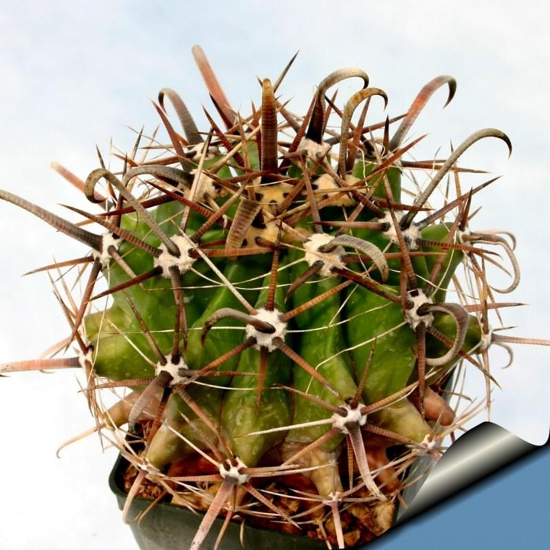 Ferocactus Peninsulae Seeds