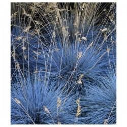 Sementes De Grama Azul Intense Blue