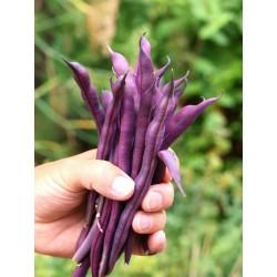 Semi Di Fagiolo Rampicante A Cosse Violette