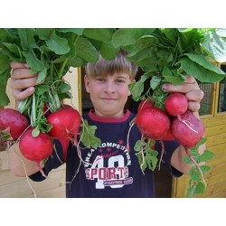 "Giant Radish Seeds ""ROSSO GIGANTE"""