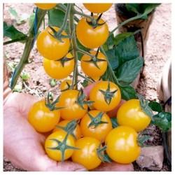 Sementes de tomate Cereja GOLDKRONE