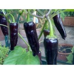 MARCONI PURPLE Sweet Pepper Seeds