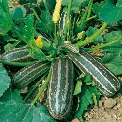 Marrow Long Green Bush Courgette Seeds