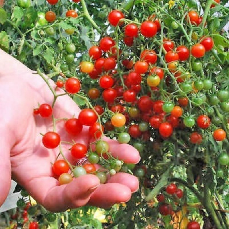 Sweet Pea Currant Tomato Seeds