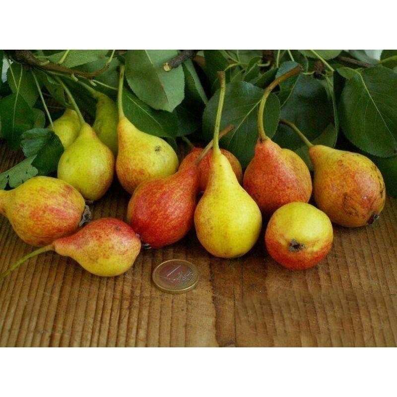 Σπόροι Αχλάδι San Giovanni (Pyrus Communis Giugno)