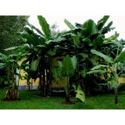 Sementes de Bananeira Darjeeling