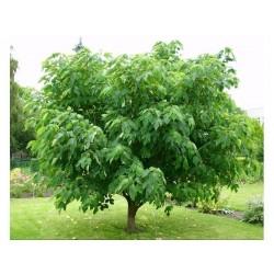 Papiermaulbeerbaum Samen