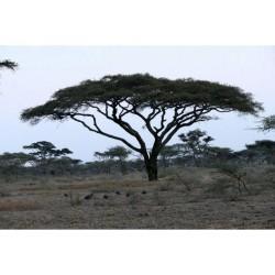 Seedeo Schirmakazie Samen – Bonsai