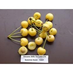 Sementes de Cerejeira Amarelo Ouro Dönissens Gelbe