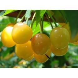 Σπόροι Κερασιάκίτρινος Dönissens Gelbe
