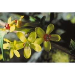 Semi di Ribes Golden Currant