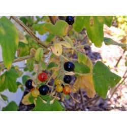 Zlatna Ribizla Seme (Ribes Aureum)