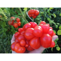 Sementes de tomate VOYAGE