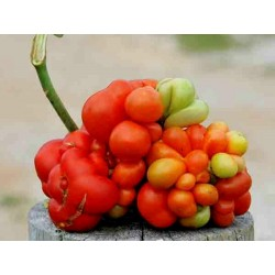 VOYAGE Tomato Seeds - Heirloom Variety