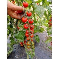 ANABELLE Tomato Seeds