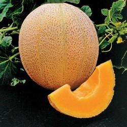 HALES BEST JUMBO Zuckermelone Samen