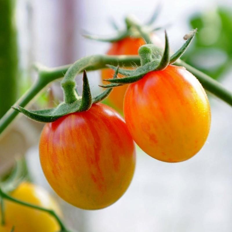 Sementes De Tomate ARTISAN GOLDEN BUMBLE BEE