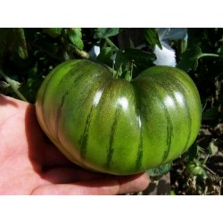 ARBUZNYI Big Green Tomato Seeds