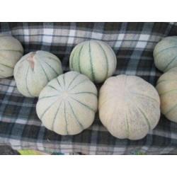 TALIBI Persian Melon Fresh Seeds