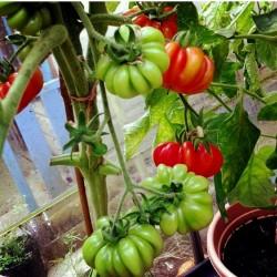 Tomato seeds Large heirloom beefsteak COSTOLUTO FIORENTINO