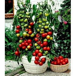 Sementes de tomate Balkonzauber