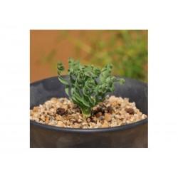 Semi di ERBA SPIRALE succulent (Moraea tortilis)