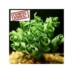 Σπόροι Spiral Grass σπιράλ γρασίδι (Moraea tortilis)