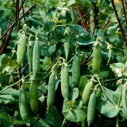 Garden Pea Seed AMERICAN WONDER