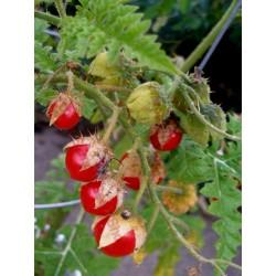 Litchi Bodljikavi Paradajz 1000 Semena