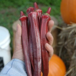 Sementes do quiabo Vermelho
