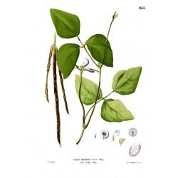 Augenbohne Samen (Vigna unguiculata)