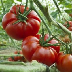 MARMANDE Beefsteak Tomato Seeds