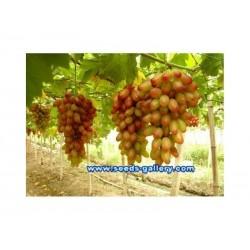 Finger Grape - Prsti Grozdje Seme