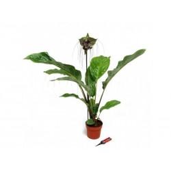 BLACK BAT FLOWER Seeds (Tacca chantrieri)