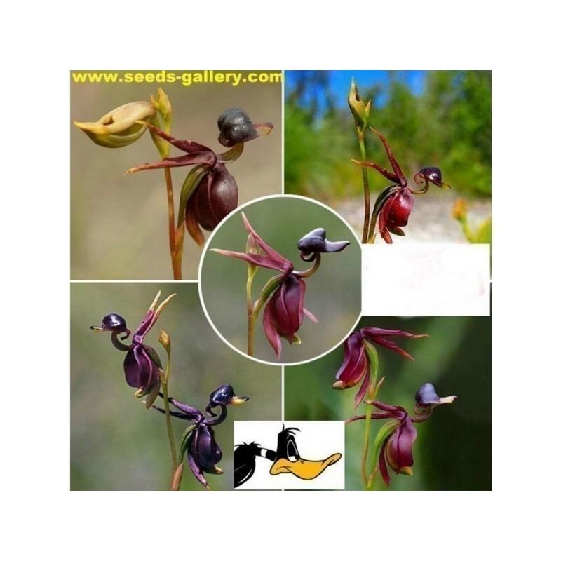 Sementes de Orquídea PATO-VOADOR (Caleana Major)