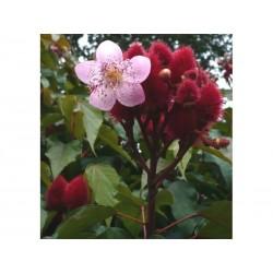 Lippenstiftbaum, Annattostrauch Samen