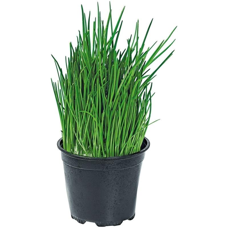 Kineski Vlasac Seme (Allium tuberosum)