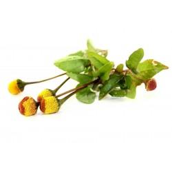 Brazilski kres - Eyeball biljka Seme (Spilanthes oleracea)
