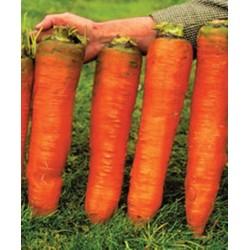 Gigantische Karotten Samen