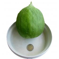 Sementes de Melon - Pepino Carosello Barattiere