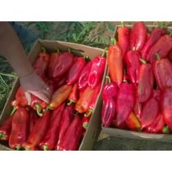 Sweet Paprika - Pepper Seeds Amphora