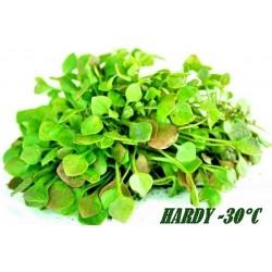 Zimski Prkos - Bunarka Seme - Zdravo Povrce (Claytonia perfoliata)