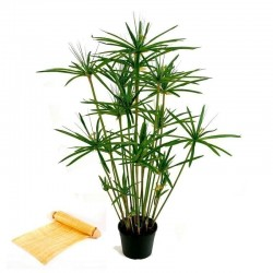 Papyrus Sedge, Paper Reed Seeds (Cyperus papyrus)