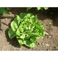 Salata Seme 'Green Mignonette'
