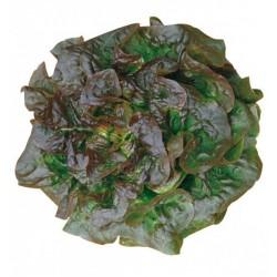 Sementes de alface Brune D'Hiver