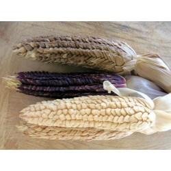 """Semi di Zea mays tunicata (mais vestito o """"pod corn"""")"""